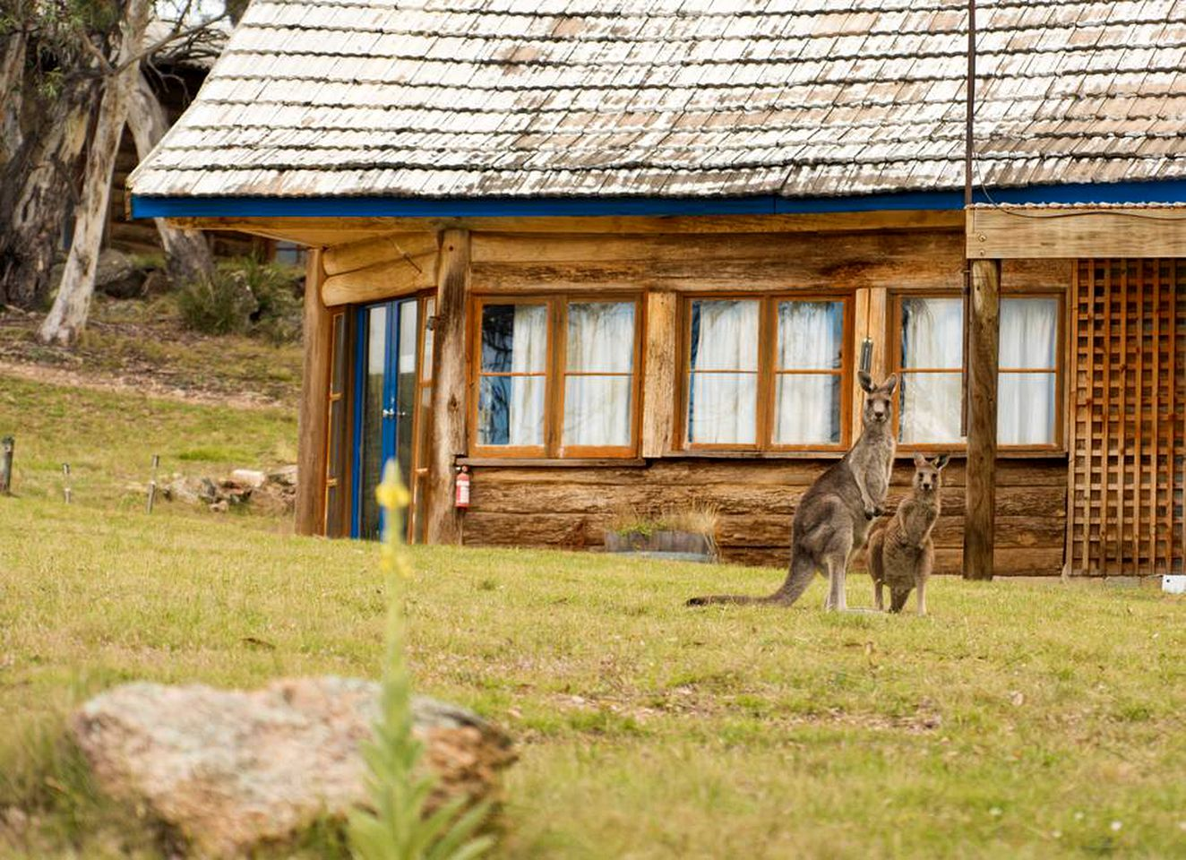 Brown log cabin with blue paint and snowy roof with two kangaroos outside.